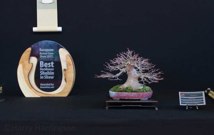 japanese maple bonsai award