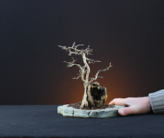 Ulmus procera/ Field Elm bonsai
