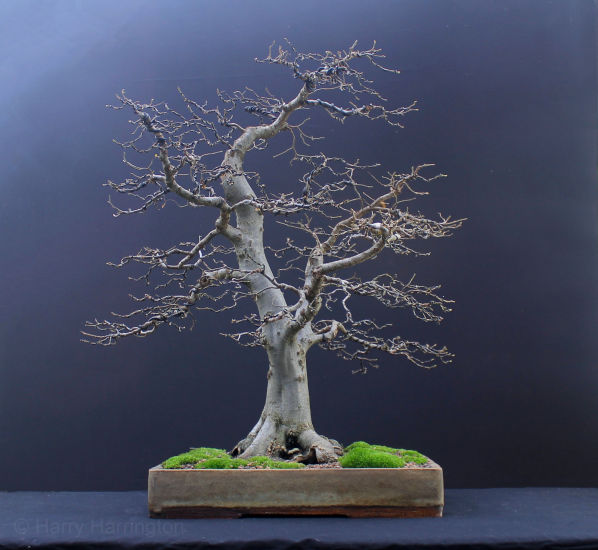 European Hornbeam bonsai