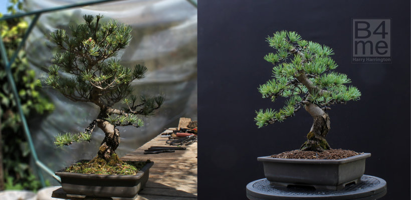 Japanese white pine bonsai before and after