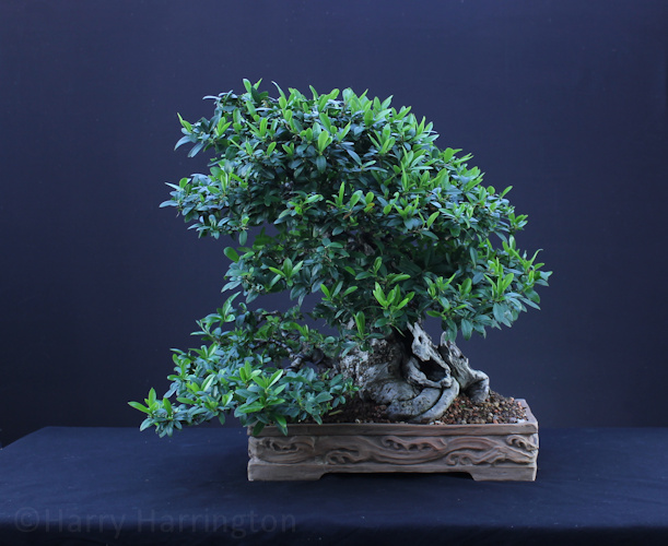 Pyracantha/Firethorn Bonsai