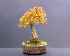 berberis bonsai