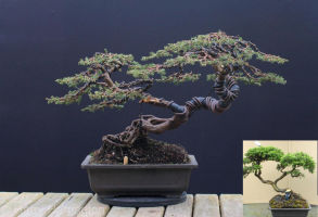common juniper bonsai