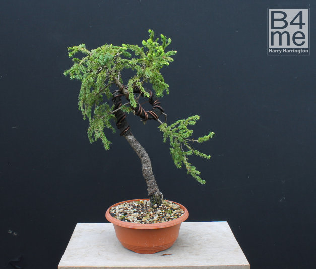 spruce bonsai bending