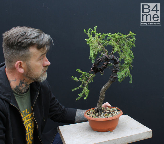 spruce bonsai trunk bend