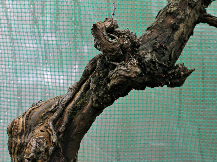 hawthorn aerial roots