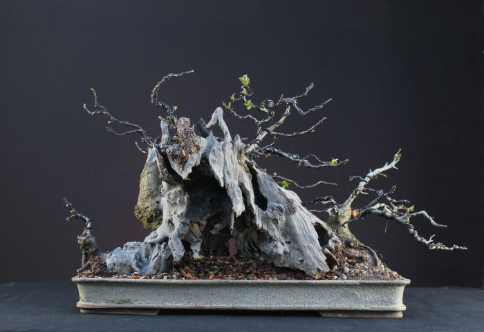 Crab Apple Bonsai Carving and Styling