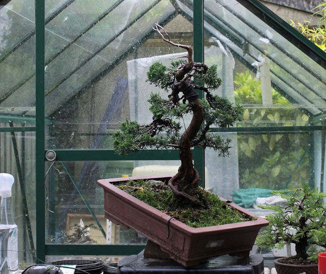 juniper bonsai split