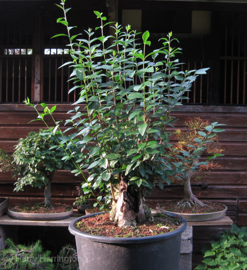 Large Privet Bonsai Progression