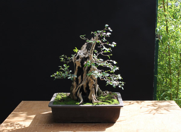 Large Privet Bonsai