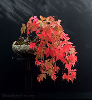 Virginia Creeper bonsai